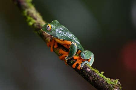 Splendid tree frog or splendid leaf frog (Cruziohyla calcarifer). A beautiful frog with tiger stripes. Barbilla national park, Costa Rica.