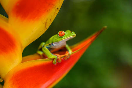 Red-eyed Tree Frog, Agalychnis callidryas, animal with big red eyes, in the nature habitat, Panama. Beautiful frog in the forest, exotic animal from central America on the red flower. Banco de Imagens