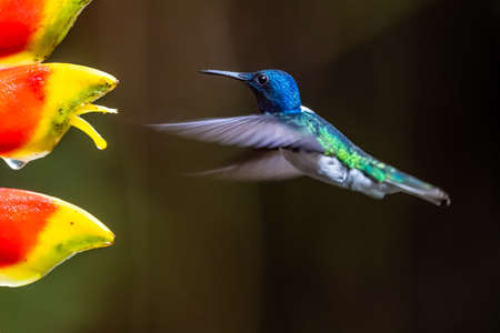 Hummingbird Long-tailed Sylph, Aglaiocercus kingi with orange flower, in flight. Hummingbird from Colombia in the bloom flower, wildlife from tropic jungle. Foto de archivo