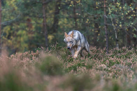 Lone wolf running in autumn forest Czech Republic