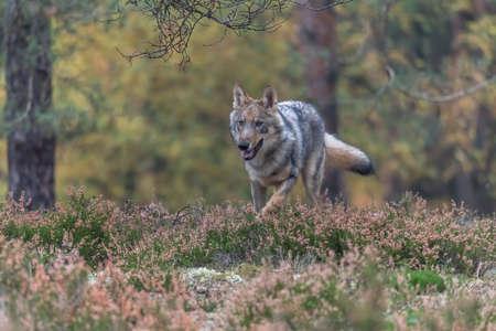 Lone wolf running in autumn forest Czech Republic