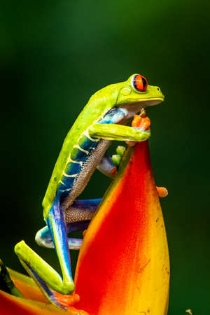 Red-eyed Tree Frog, Agalychnis callidryas, sitting on the green leave in a tropical forest in Costa Rica.