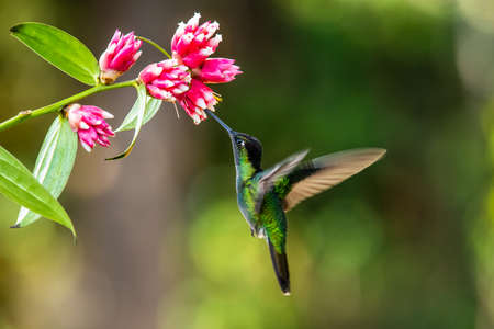 Blue hummingbird Violet Sabrewing flying next to beautiful red flower. Tinny bird fly in jungle. Wildlife in tropic Costa Rica. Two bird sucking nectar from bloom in the forest. Bird behavior