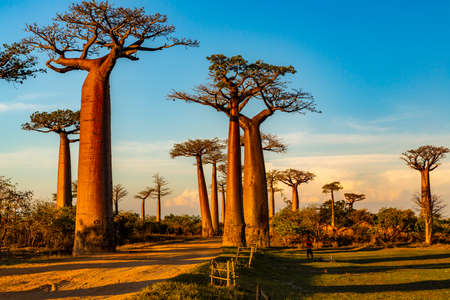 Beautiful Baobab trees at sunset at the avenue of the baobabs in Madagascar Banco de Imagens