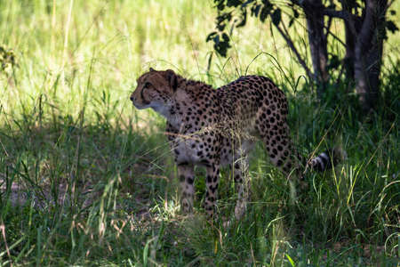 The Cheetah (Acinonyx jubatus) is a feline known as the fastest terrestrial animal. It's a slender long-legged animal with a yellowish, black-spotted fur coat.