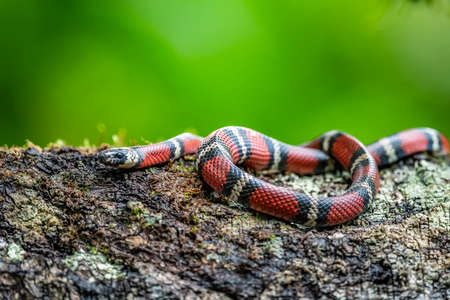 Costa Rican coral snake common snake distributed from the east and southeastern Caribbean in Nicaragua to Caribbean in Panama. In Costa Rica it is found in tropical and subtropical rainforests