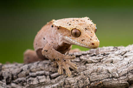 Rhacodactylus ciliatus lizzard from New Caledonia