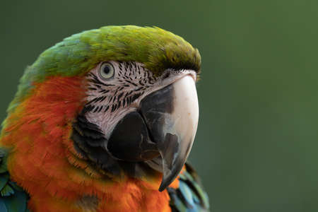 Head shot of a Harlequin Macaw parrot. Фото со стока