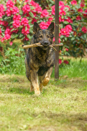 German Shepherd is a German dog breed, one of the most widely used in the world and also the most widely used service breed Фото со стока