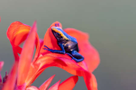 The dyeing dart frog, tinc (a nickname given by those in the hobby of keeping dart frogs), or dyeing poison frog (Dendrobates tinctorius) is a species of poison dart frog