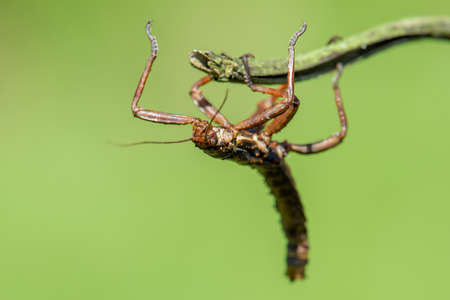The Phasmatodea sitting on a branch. Phasmida or Phasmatoptera. Phylliidae.