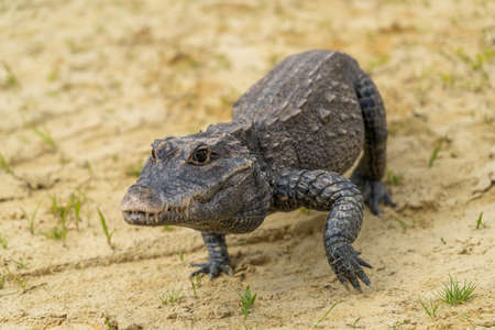 Dwarf crocodile (Osteolaemus tetraspis), also known commonly as the African dwarf, broad-snouted or bony crocodile, is an African crocodile that is also the smallest Фото со стока