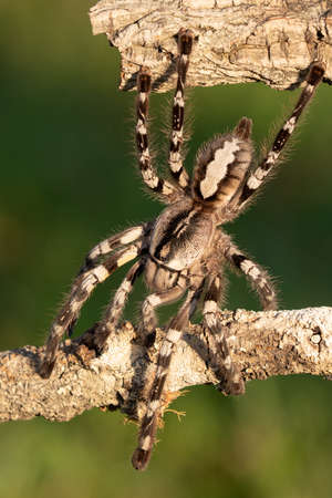 Poecilotheria metallica is an Old World species of tarantula. It is the only blue species of the genus Poecilotheria. Like others in its genus it exhibits an intricate fractal-like pattern