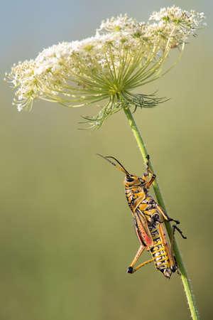 Florida Giant Orange Yellow Locust Lubber Grasshopper. Stock Photo