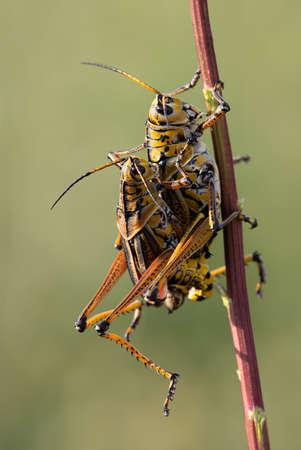 Florida Giant Orange Yellow Locust Lubber Grasshopper.