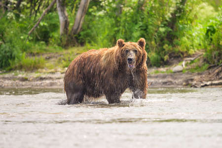 Ruling the landscape, brown bears of Kamchatka (Ursus arctos beringianus) Stock Photo