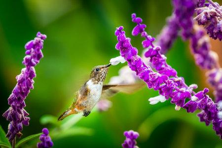 Green Violet-ear hummingbird (Colibri thalassinus) in flight isolated on a green background in Costa Rica Foto de archivo