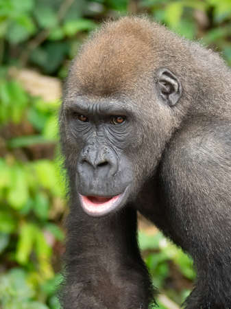 A Western gorilla (Gorilla gorilla) Africa Gabon. Stock Photo