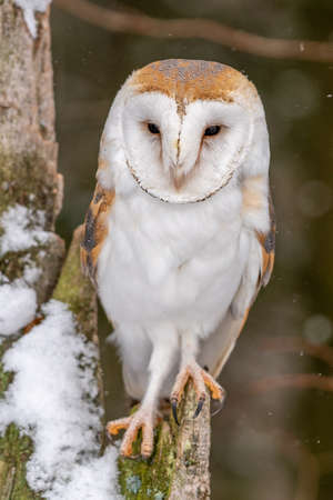 Barn owl (Tieto alba) is the most widely distributed species of owl and one of the most widespread of all birds. Found almost everywhere in the world except polar and desert regions