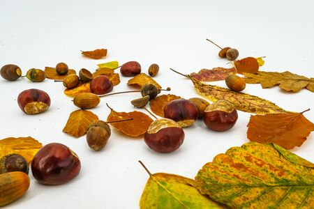 leaves and chestnuts and acorns isolated on white background