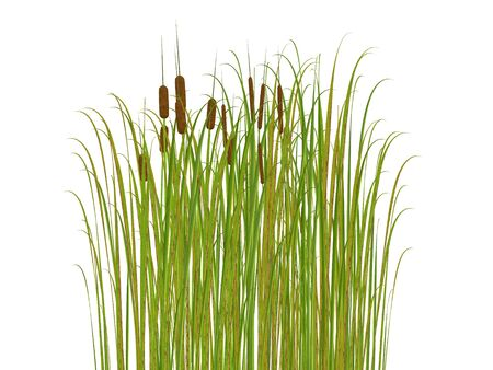 rush and grass isolated on white background  Stock Photo