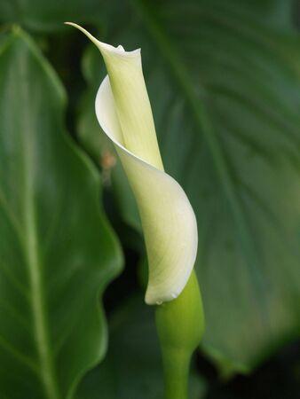 Young White Calla Lily