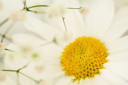 yellow blossom: Daisy flower close up