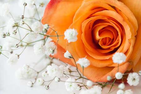 orange rose: Closeup view orange rose