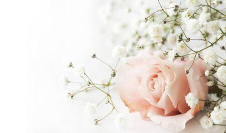 white rose: Pink rose on white background