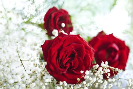 rosas rojas: Rosas rojas sobre fondo blanco Foto de archivo