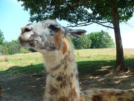 Disapproving Lama