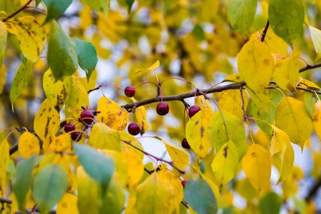 crab apple tree: Small dark red apples on a branch with yellow and green leaves