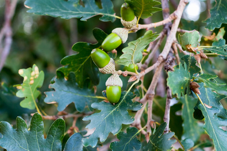branch of an oak tree with green acorns on it Stock Photo