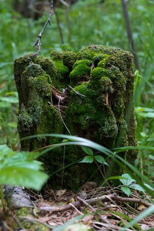 an old stump in green moss. Ural, Russia.