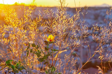 field of blooming yellow flowers on a background sunset 写真素材