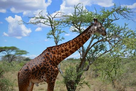 Giraffe Scenic