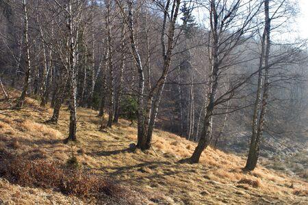 brich: forest in light