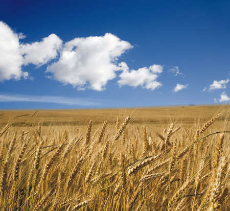 acre:  grain in the summer - acre