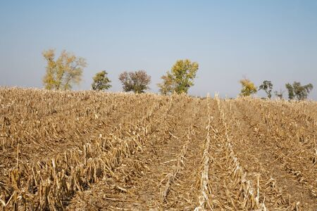 mealie: field after harvest in autumn