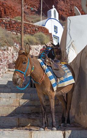 oia: Santorini - The donkey in Amoudi harbor under Oia