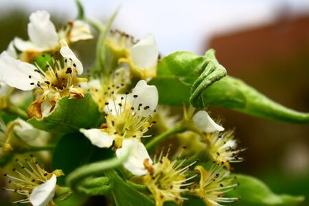 pear tree: On this photo is beautiful blooms of a pear tree.