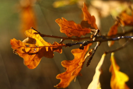 quercus robur: On this photo is leaf from oak tree in autumn.