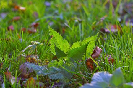 ouside: On this photo is nettle lies in grass with backlit by sunlight. Stock Photo