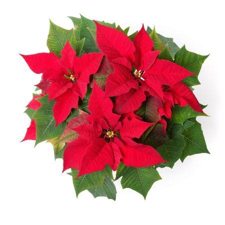 flor de pascua: S�mbolo rojo de la Navidad. Euphorbia pulcherrima flor aislado sobre blanco.