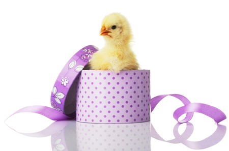 The chicken looks out from a gift box. Isolated over white. photo