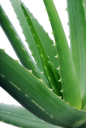 Aloe vera on white background. Selective focus