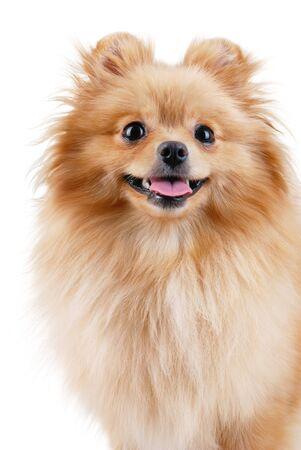 Spitz - pomeranian dog portrait. Isolated on white. photo
