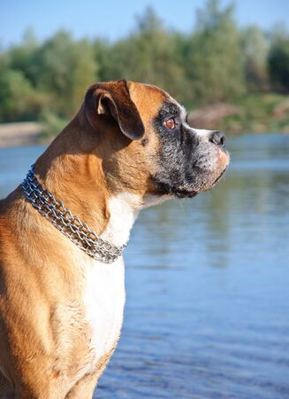 Portrait of young wet boxer dog  photo