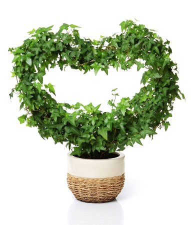 Heart shaped ivy in a flowerpot. Isolated on white. Stock Photo