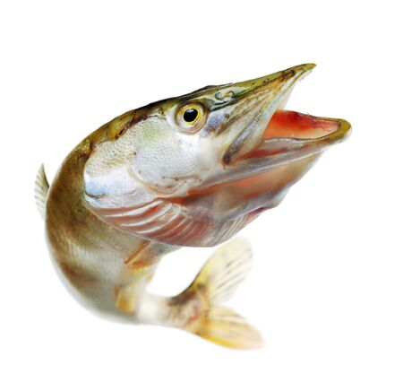 Jumping pike with opened mouthe. Isolated on white Standard-Bild
